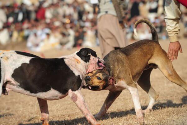 AbandoNOanimal, peleas de perros